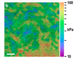 Ultrahigh-resolution optical coherence elastography images cellular-scale stiffness of mouse aorta